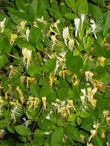 Lonicera japonica cover