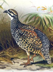 Chinese Francolin cover